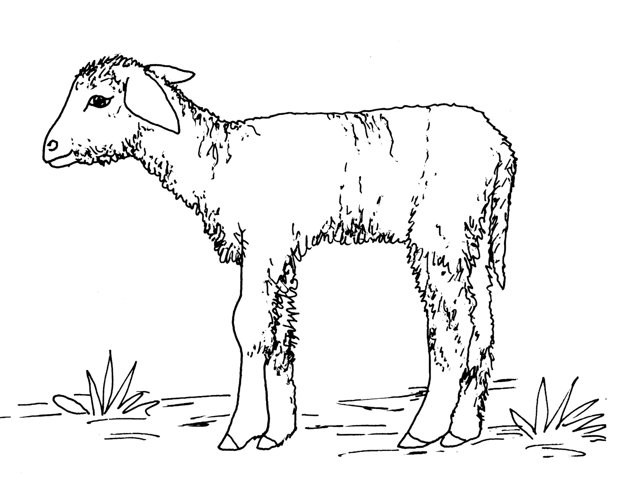 Comment dessiner un agneau - Dessin loup et agneau ...